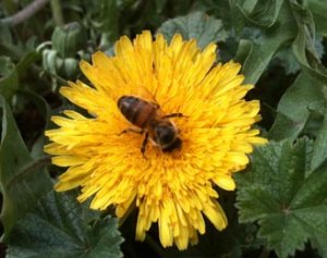Bee-on-Dandelion_